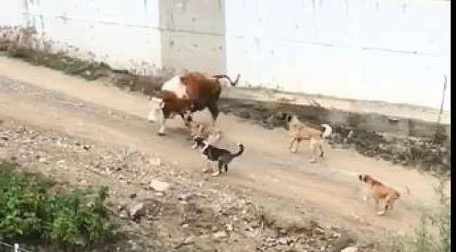 Artvin'de başı boş köpeklerin saldırdığı ineklerin zor anları